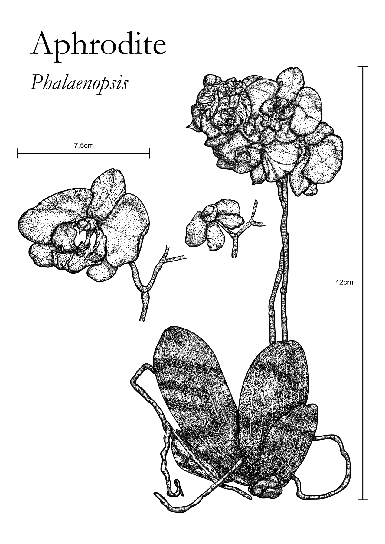 The Aphrodite is a flower known as moth orchids abbreviated Phal in the horticultural trade is an orchid genus and is one of the most popular orchids in the trade through the development of many artificial hybrids It is native to southern China Taiwan the