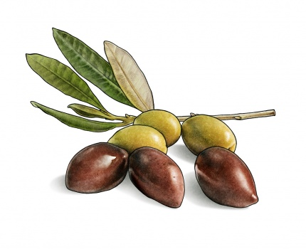 Branch of olives for Zeta