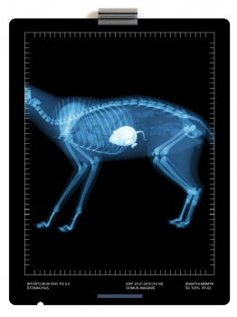 X-ray image of a cat with a mouse in the stomach skeleton röntgen plåt katt mus