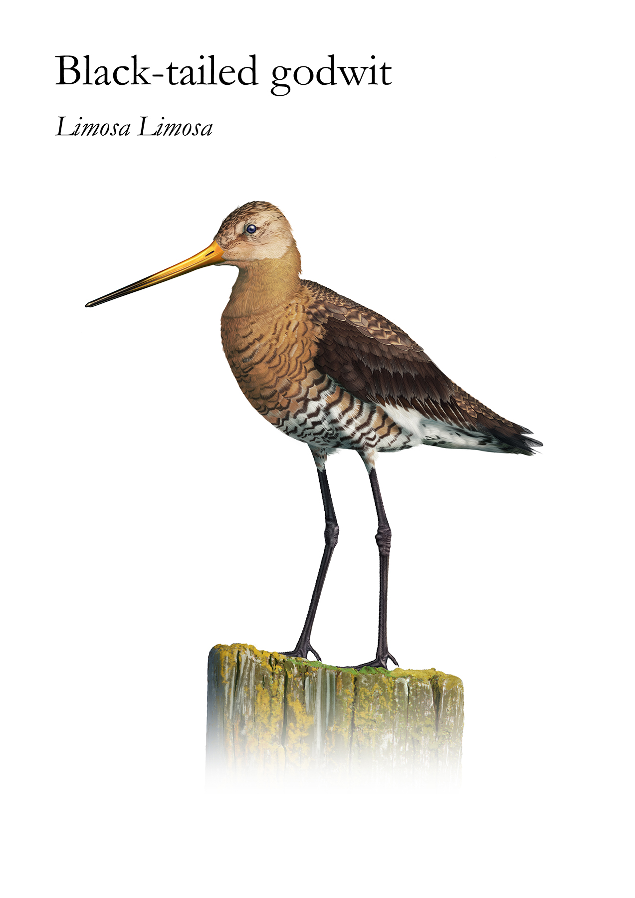 The Black Tailed Godwit is a bird living near the water and is a large long-legged long-billed shorebird