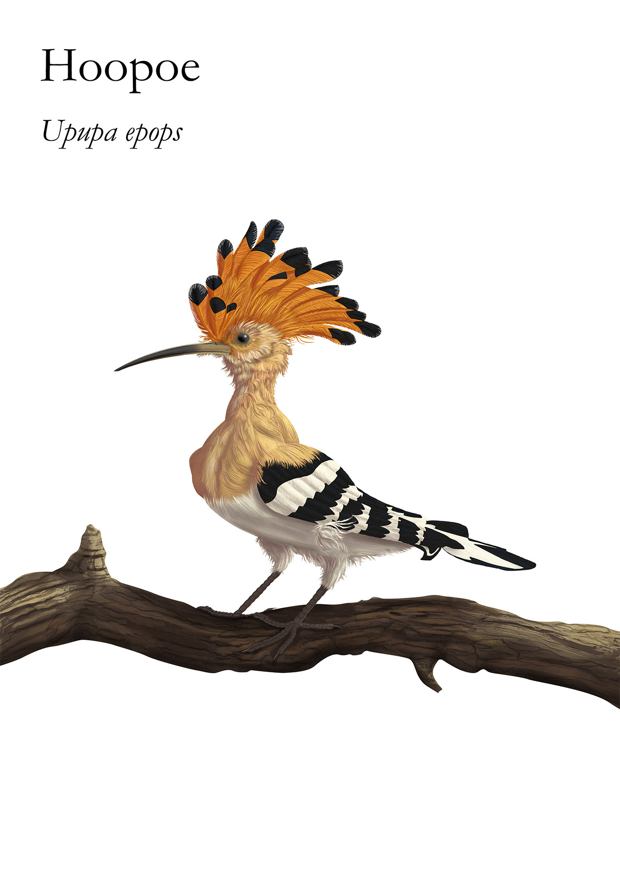 The Hoopoe is a colourful bird found across Afro-Eurasia also called Härfågel