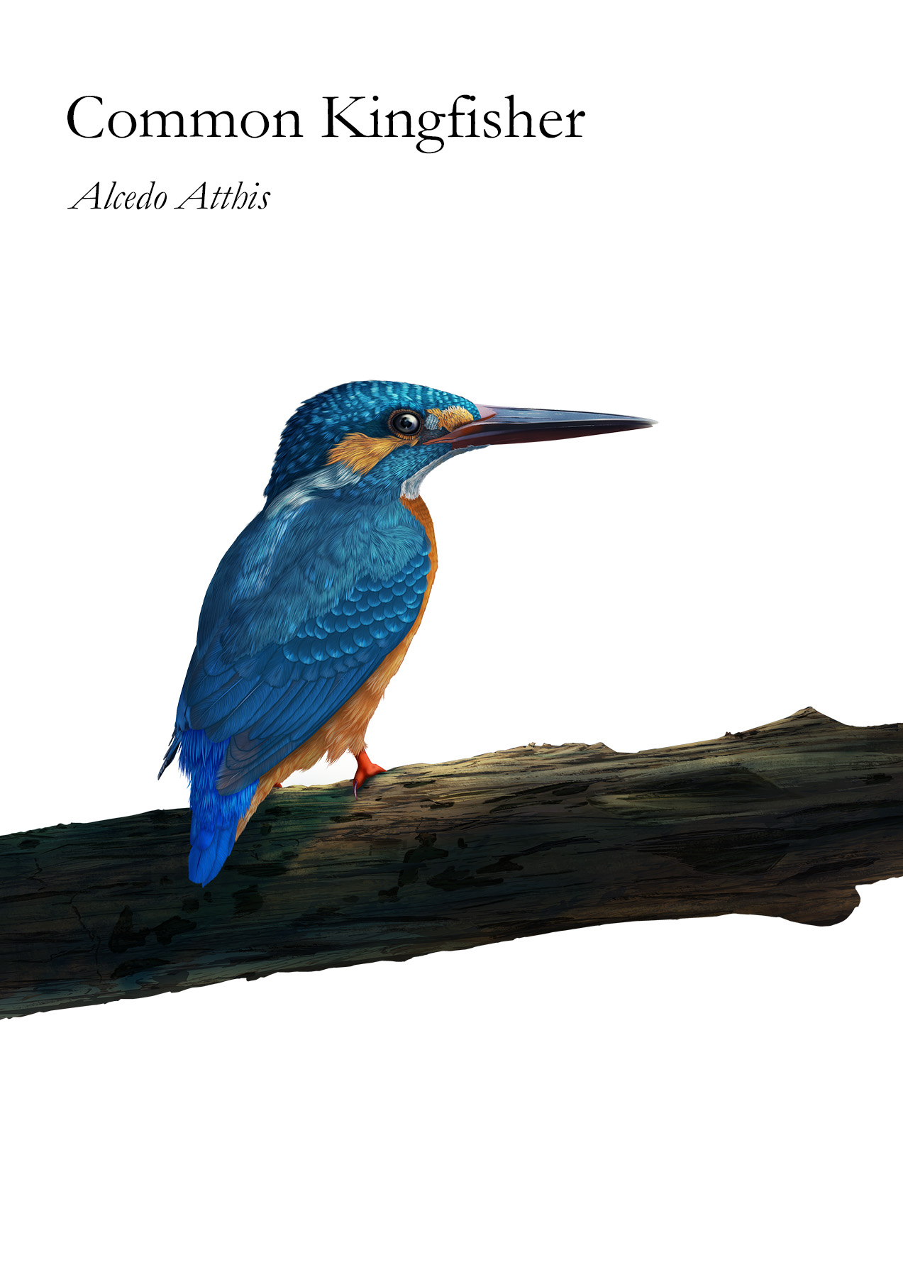 The kingfisher is a colourful medium-sized bird that lives in nature with most species found outside the Americas Kungsfågeln